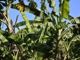 cara-mematikan-pohon-pisang