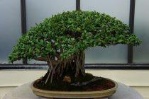 cara-membuat-bonsai-beringin