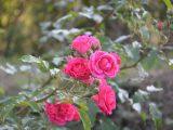 cara-membudidayakan-bunga-mawar