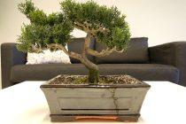 cara-memelihara-tanaman-bonsai