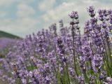 cara-memperbanyak-lavender