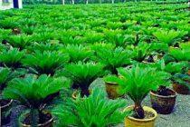 cara-memperbanyak-tanaman-sikas