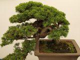 cara-menanam-bakalan-bonsai