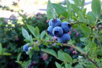 cara-menanam-buah-blueberry