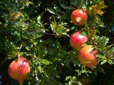 cara-menanam-buah-delima