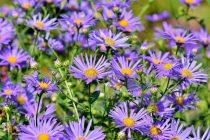 cara-menanam-bunga-aster