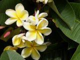 cara-menanam-bunga-kamboja