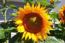 cara-menanam-bunga-matahari