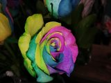 cara-menanam-bunga-mawar-pelangi