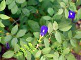 cara-menanam-bunga-telang