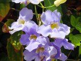cara-menanam-bunga-thunbergia