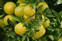 cara-menanam-jeruk-bali