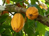 cara-menanam-kakao