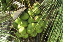 cara-menanam-kelapa-hijau