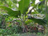 cara-menanam-pisang-kepok