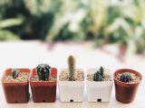 cara-menanam-potelan-kaktus
