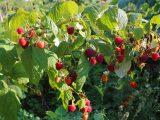 cara-menanam-raspberry