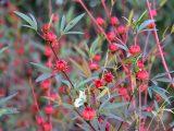 cara-menanam-rosella