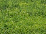 cara-menanam-rumput-setaria