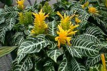cara-menanam-tanaman-aphelandra