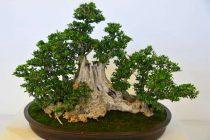 cara-mendapatkan-bahan-bonsai