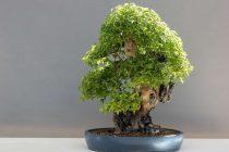 cara-mengerdilkan-tanaman-bonsai