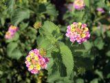 cara-menyetek-bunga-lantana