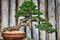 cara-menyuburkan-kembali-bonsai