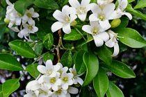 cara-merawat-bunga-kemuning