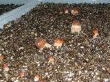 cara-merawat-jamur-merang