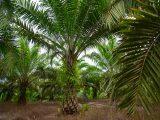 cara-merawat-kelapa-sawit