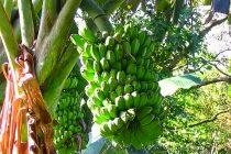 cara-merawat-pisang-kepok