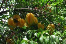 cara-merawat-pohon-belimbing
