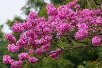 cara-merawat-pohon-tabebuya