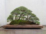 cara-merawat-tanaman-bonsai