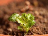 cara-stek-daun-begonia