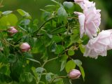 ciri-ciri-bunga-mawar
