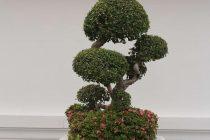 ciri-ciri-tanaman-bonsai