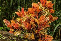 daun-puring-berwarna-cerah