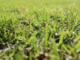 jenis-jenis-rumput-taman