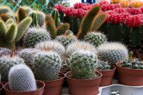 jenis-kaktus-yang-unik