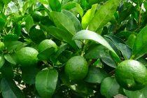 jeruk-nipis-cepat-berbuah