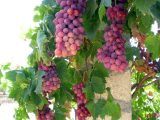 manfaat-anggur-untuk-kesehatan