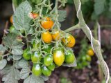 memangkas-tanaman-tomat