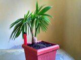 membuat-bonsai-kelapa-bercabang