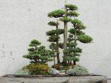 membuat-bonsai-tanaman-hias