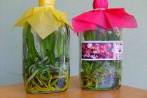 menanam-anggrek-dari-botol