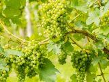 menanam-anggur-biji