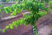 menanam-anggur-dari-biji