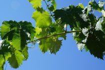 menanam-anggur-di-pot